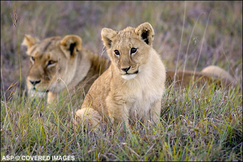 Lioncub8563jbay06cestari_l